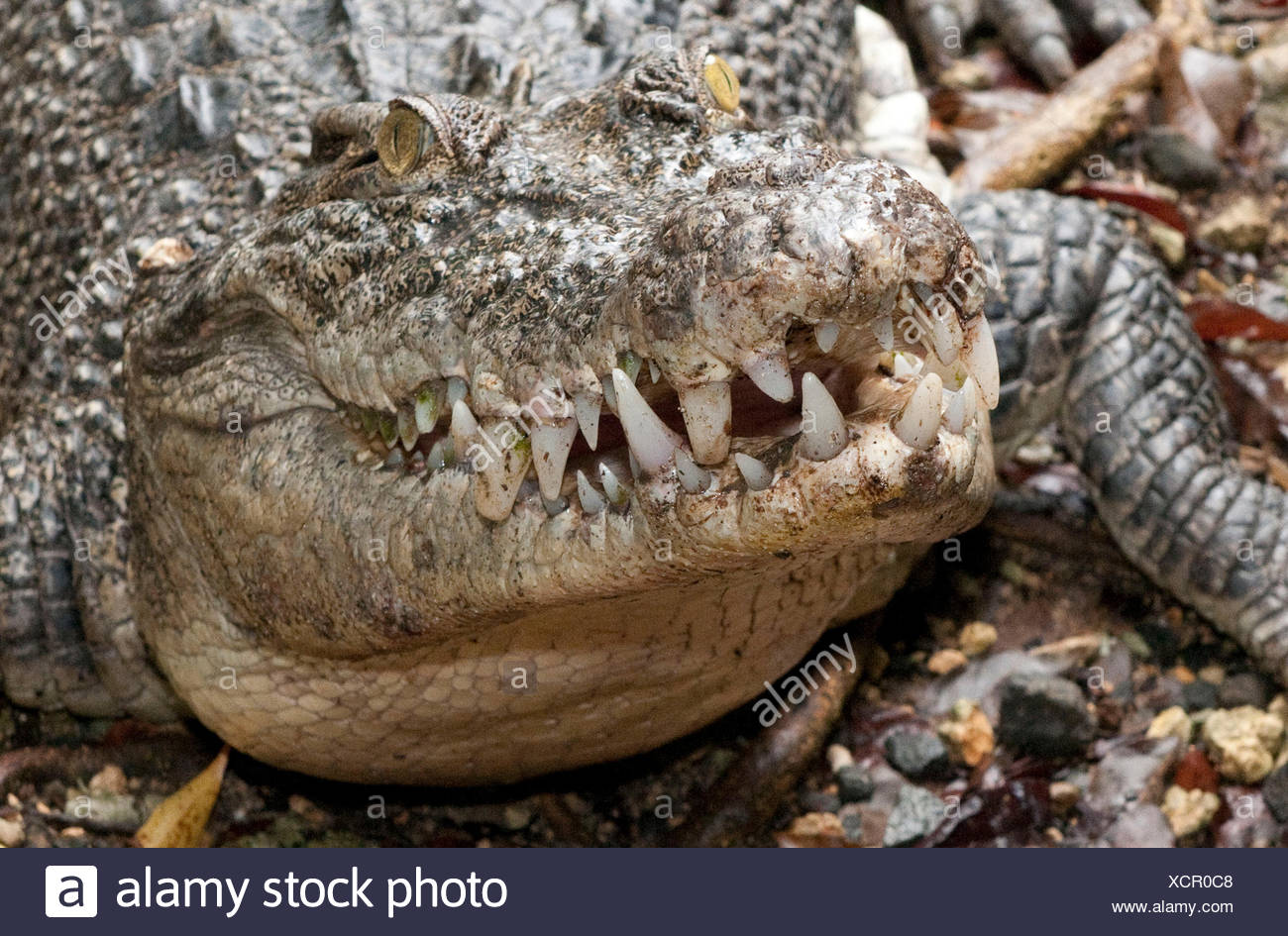 Estuarine Crodocile / (Crocodylus porosus) / Saltwater Crocodile Stock Photo