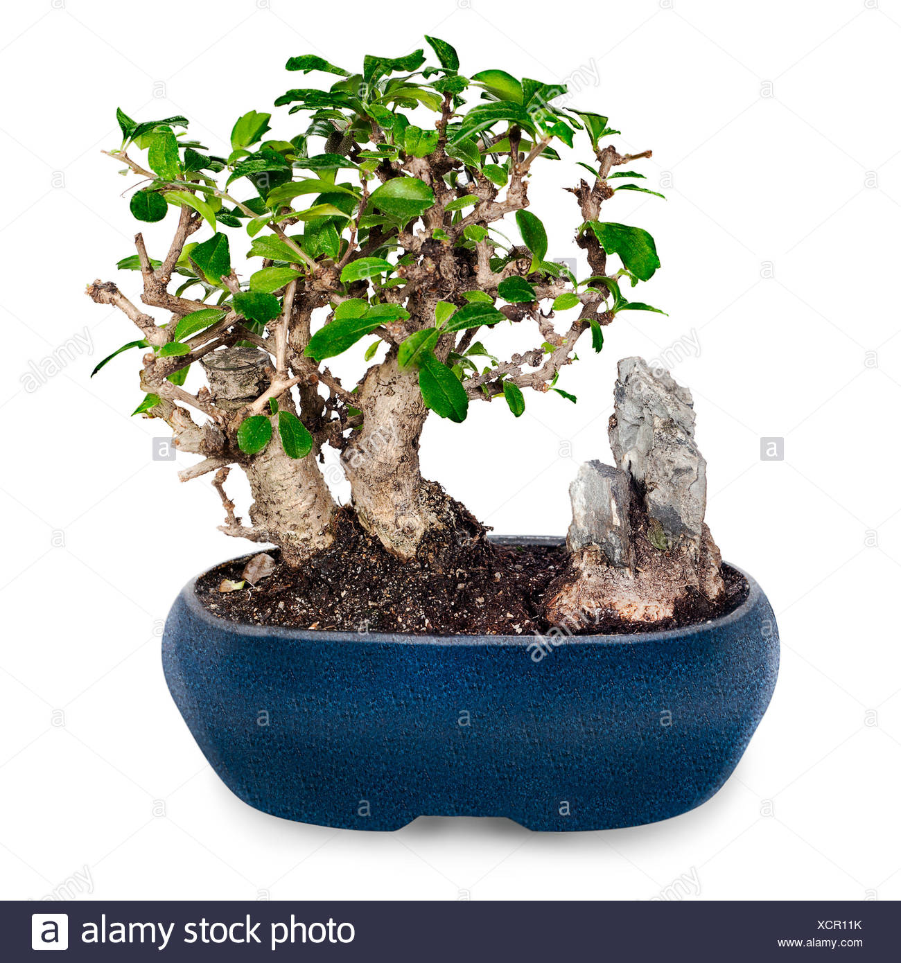 Miniature Bonsai Tree And Stone In Blue Pot Isolated On White