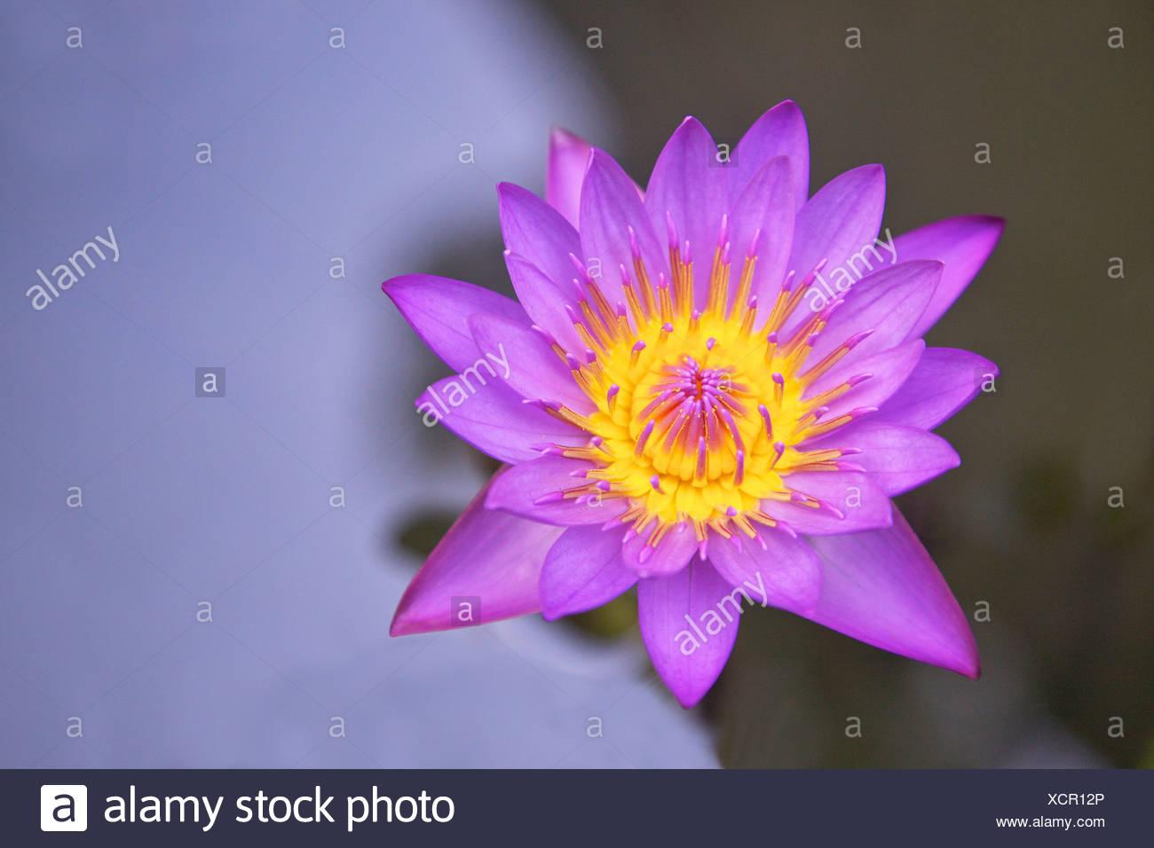 Sri Lanka Blue Star Water Lily Or Blue Lotus Flower Nymphaea