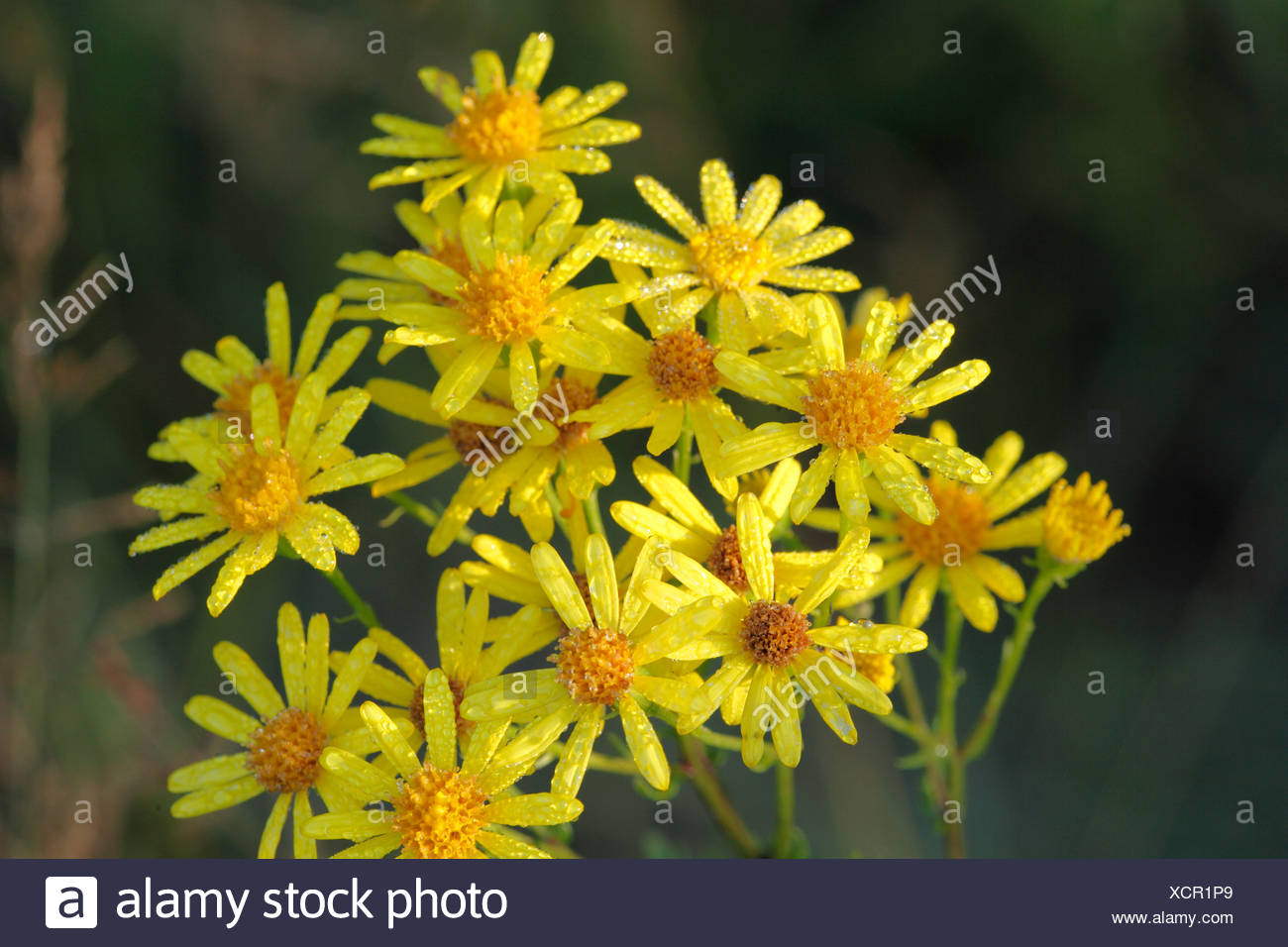 Flowers of Ragwort (Senecio jacobaea) with dewdrops, poisonous plant - Stock Image