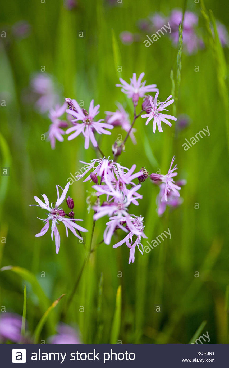 Cuckoo's campion in the meadow, - Stock Image