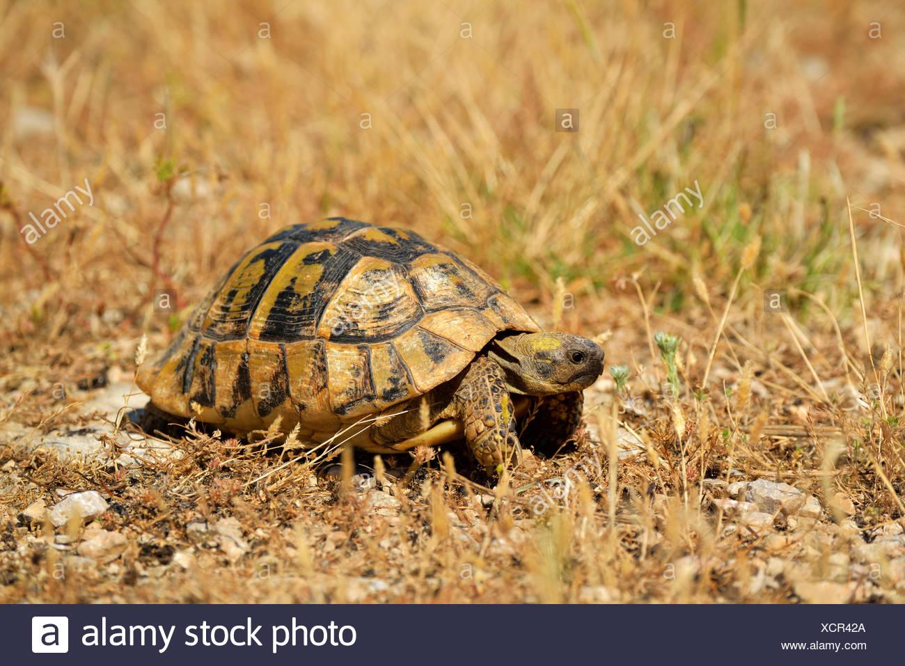 Dalmatian Tortoise (Testudo hermanni hercegovinensis), Dalmatia, Croatia - Stock Image