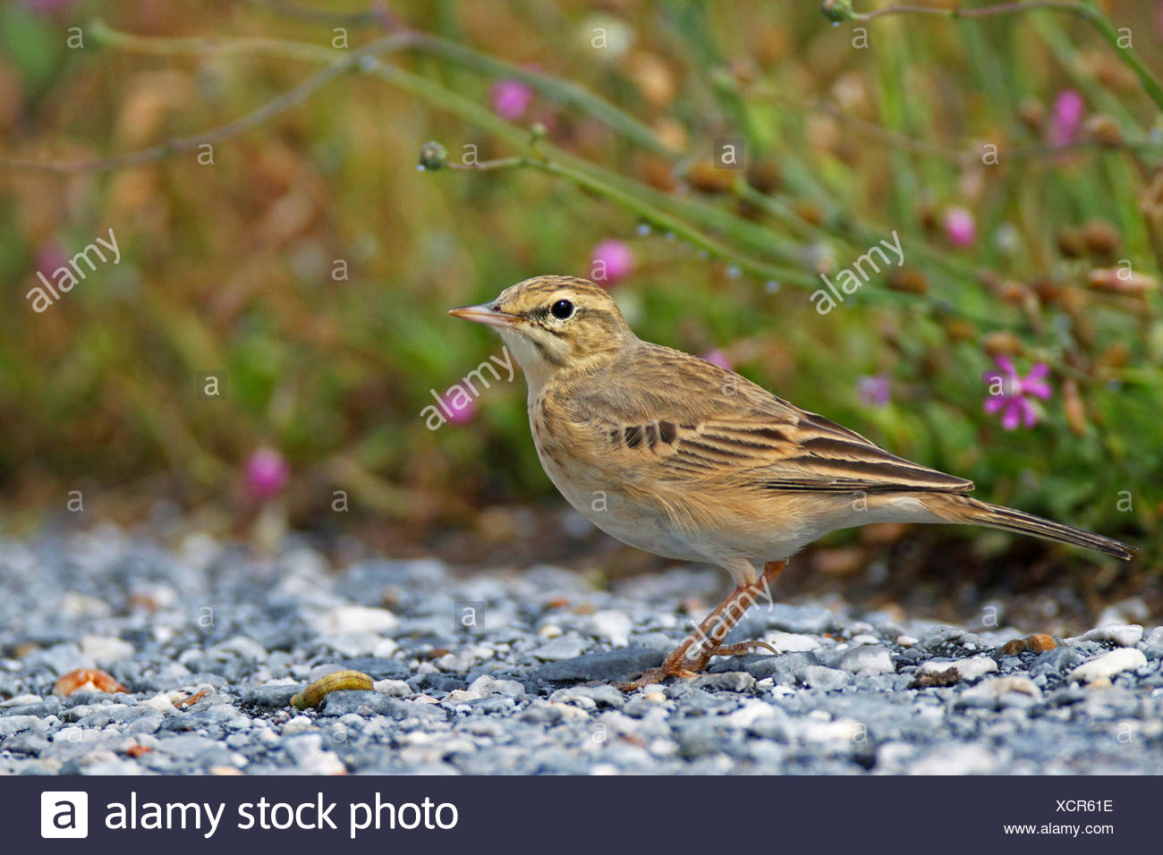 Tawny pitpit (Anthus campestris), standing on the ground, Greece, Lesbos - Stock Image