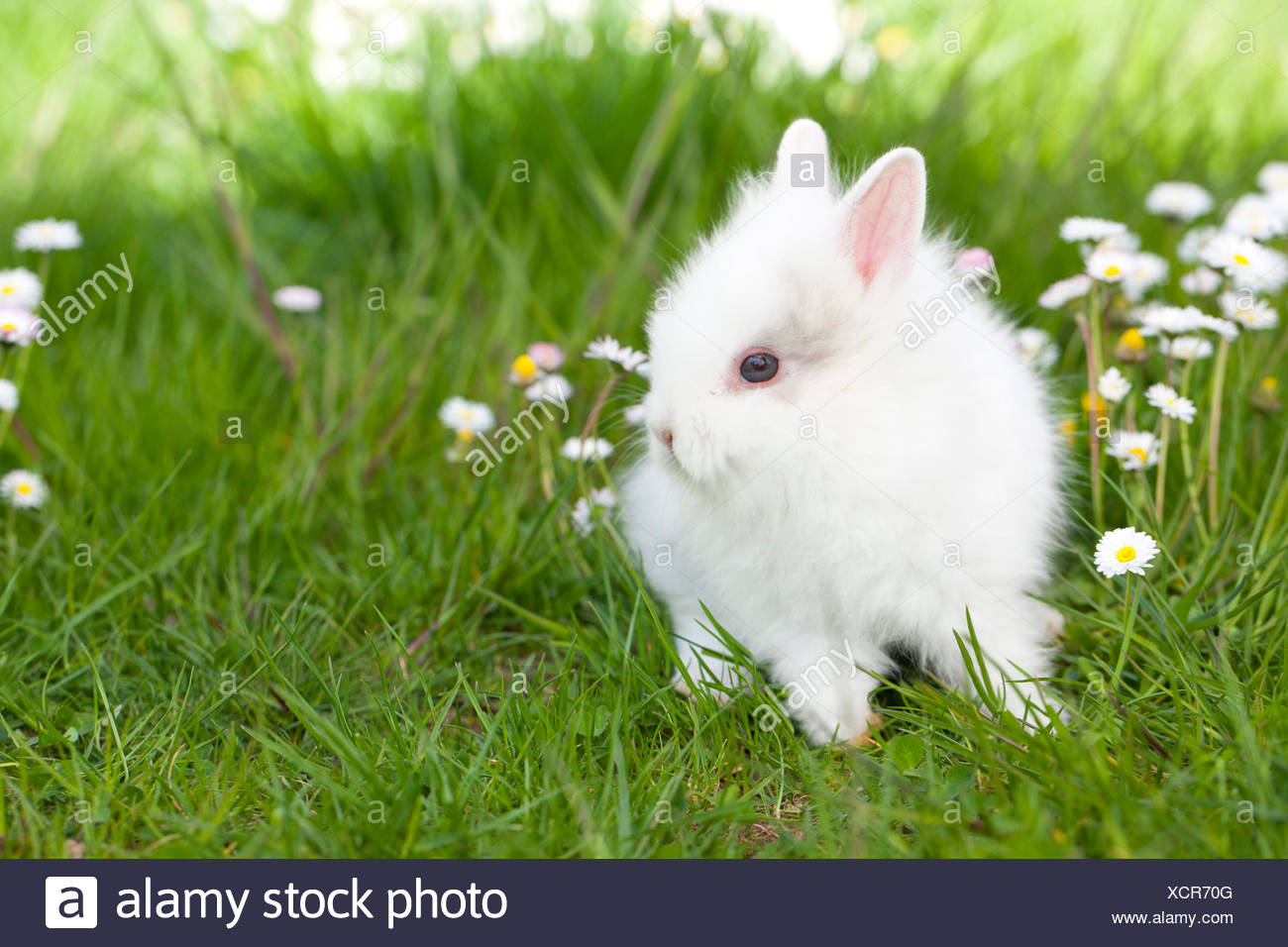 Dwarf Rabbit, Lionhead Rabbit White young grass Daisies Stock Photo