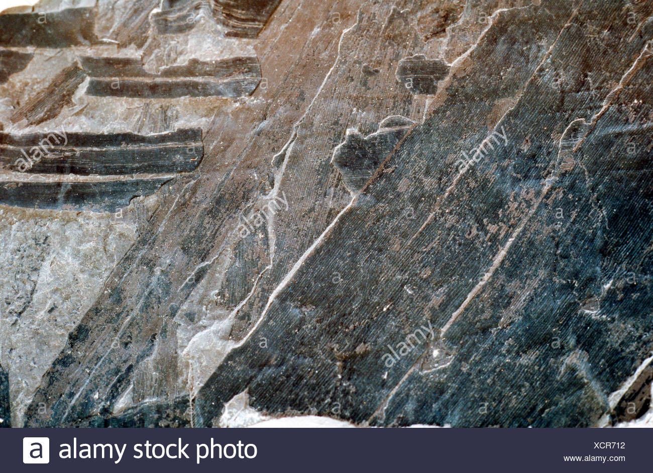 Cordaites principalis, fossil conifer, upper carbon, Germany, North Rhine-Westphalia - Stock Image