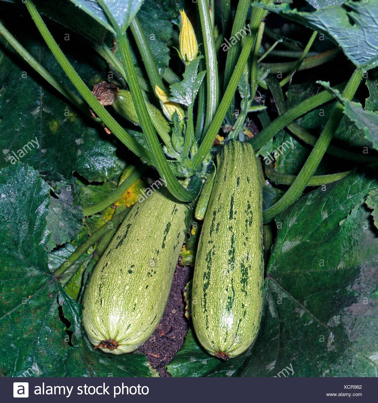 cream green courgette fruits, a subspecies of the squash Cucurbita pepo, - Stock Image