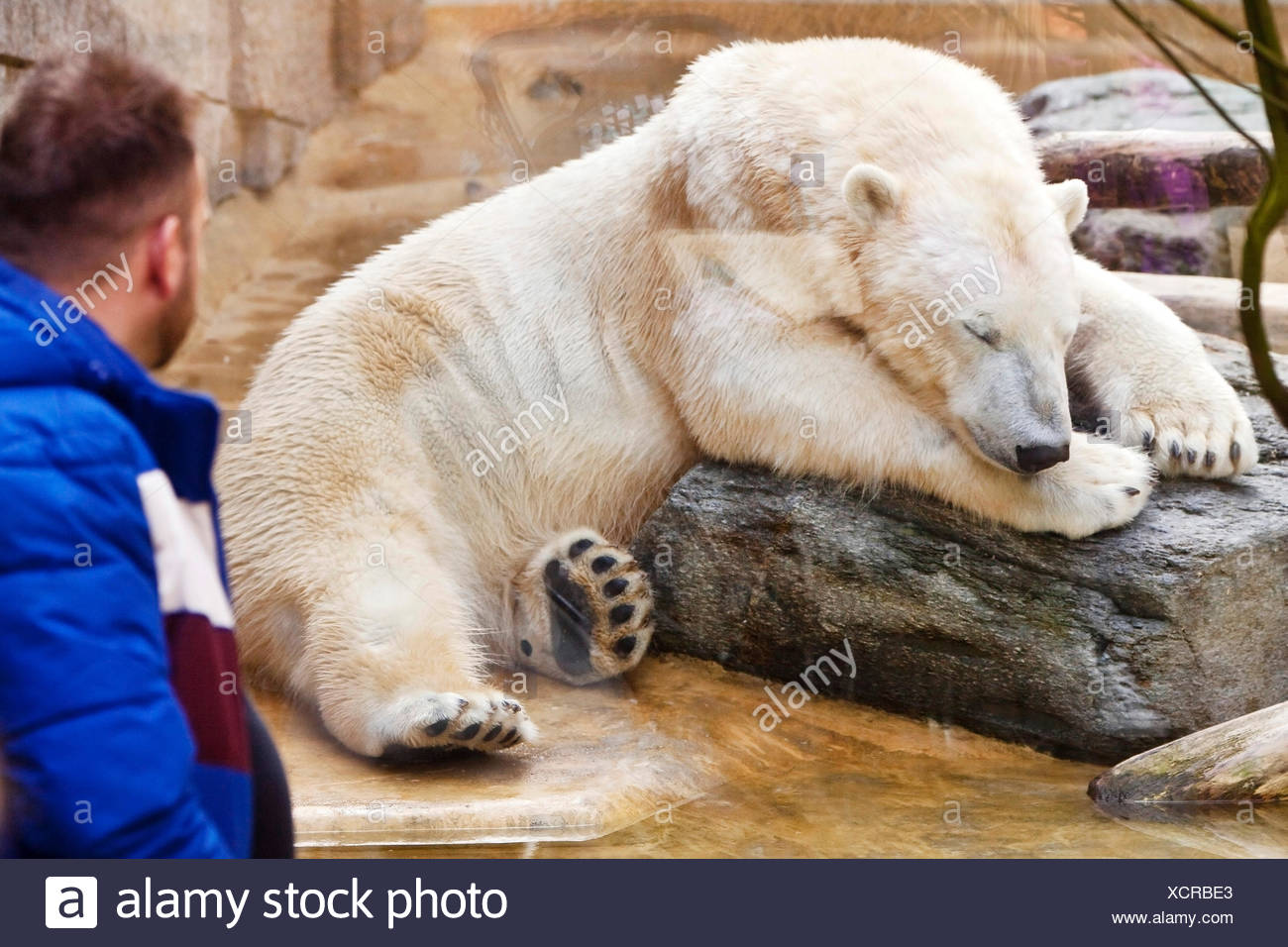 polar bear (Ursus maritimus), man watches a sleeping polar bear at the Wuppertal Zoo, Germany - Stock Image