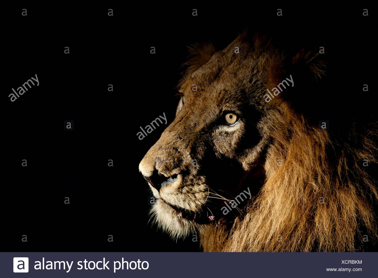 Lion (Panthera leo) male with scars photographed with side-lit spot light at night. Greater Kruger National Park, South Africa, Stock Photo