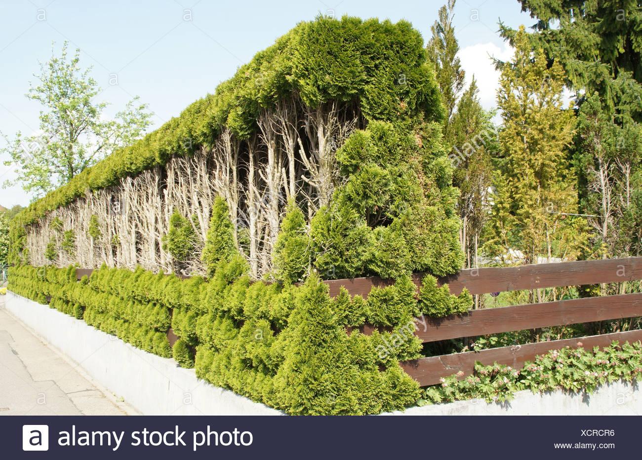 White Cedar, Hedge - Stock Image