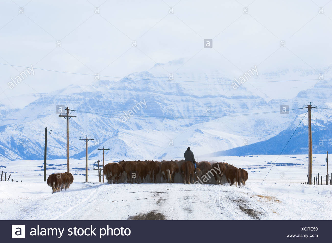 Cattle (Bos taurus) Drive. Driving herds along roads is a common way to move them from one field to another. Country road, south - Stock Image