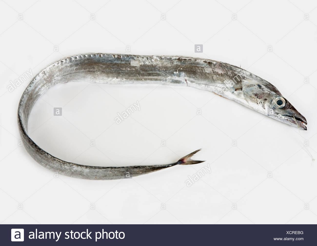 Silver scabbard fish, close-up - Stock Image