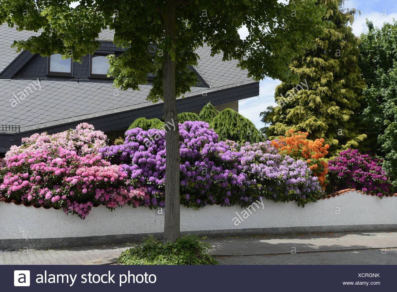 Eitelkeit Blumen Mai Dekoration Von Rhododendron, , Blume, Blumen, Strauch, Sträucher, Mai,