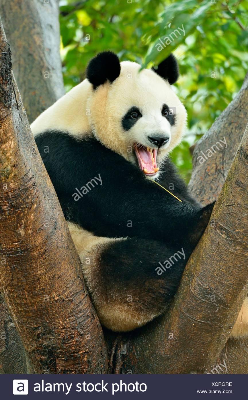 Giant Panda (Ailuropoda melanoleuca) perched on a tree, captive, Chengdu Research Base of Giant Panda Breeding or Chengdu Panda - Stock Image