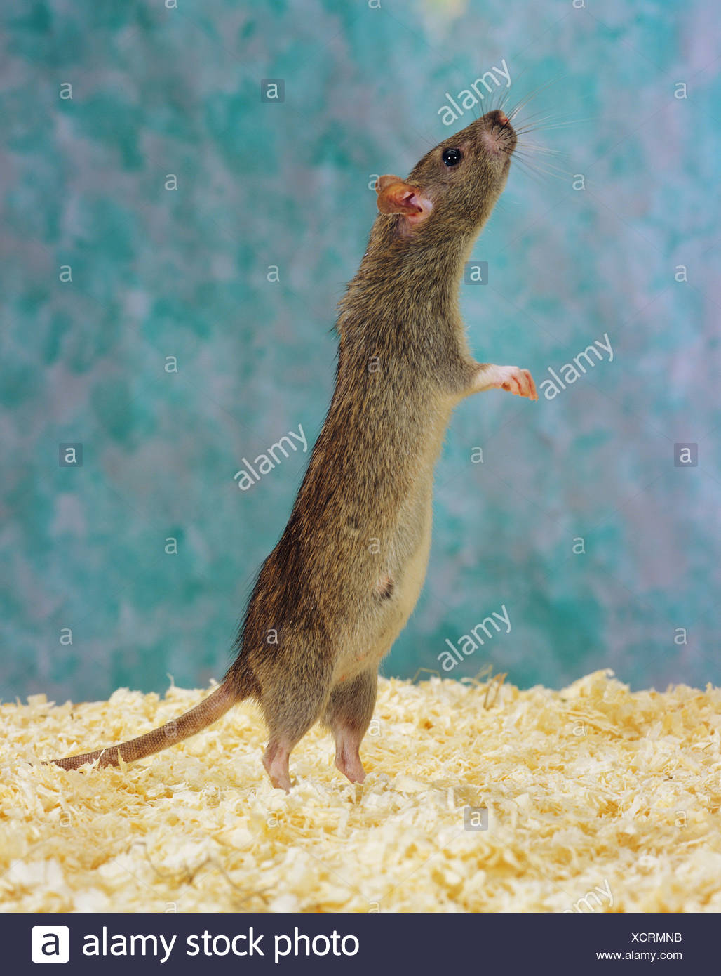 Rat on hindfeet - Stock Image