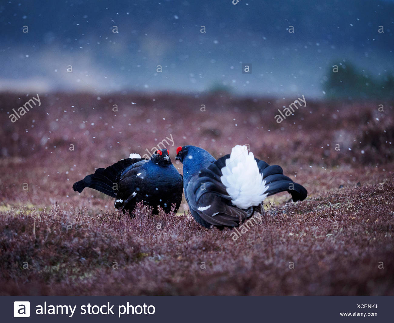 Mating rituals of black grouse on a lek in the highlands of Scotland. - Stock Image