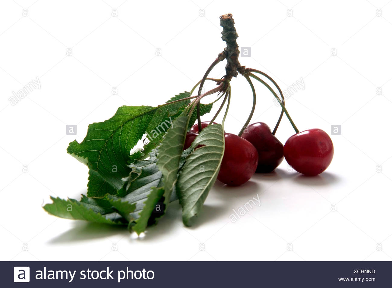 Cherry variety Braunauer  with twig and leaves Stock Photo