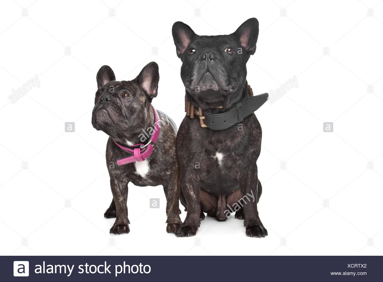 Two Dark Brown French Bulldogs Stock Photo 283266202 Alamy