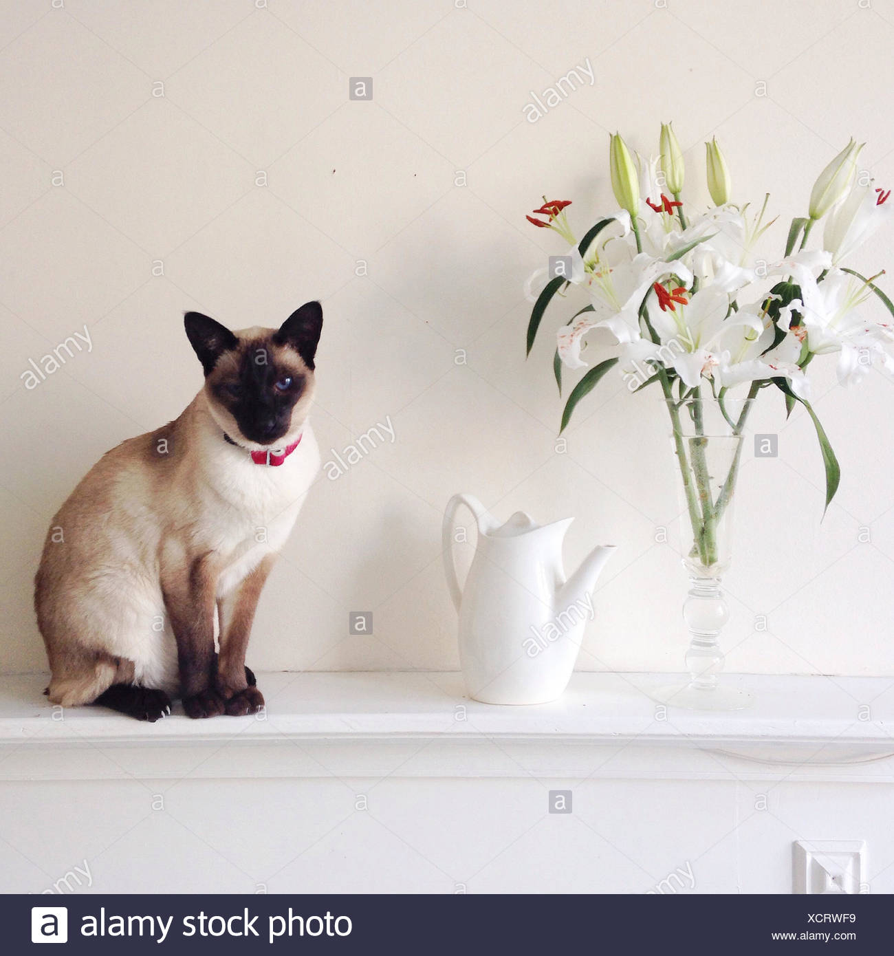 United Kingdom, England, Brighton, Portrait of Siamese cat - Stock Image