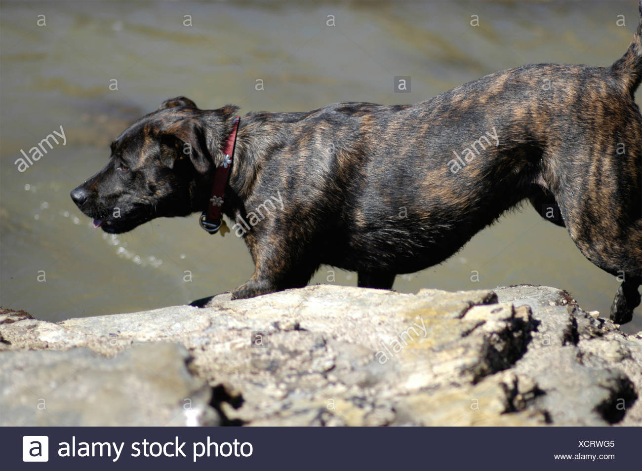 A family dog playing and exploring on a rocky beach with tide pools in Southern California USA  Stock Photo