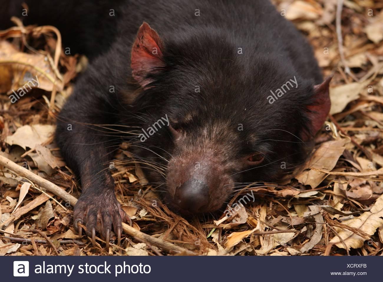 Tasmanian devil - Stock Image