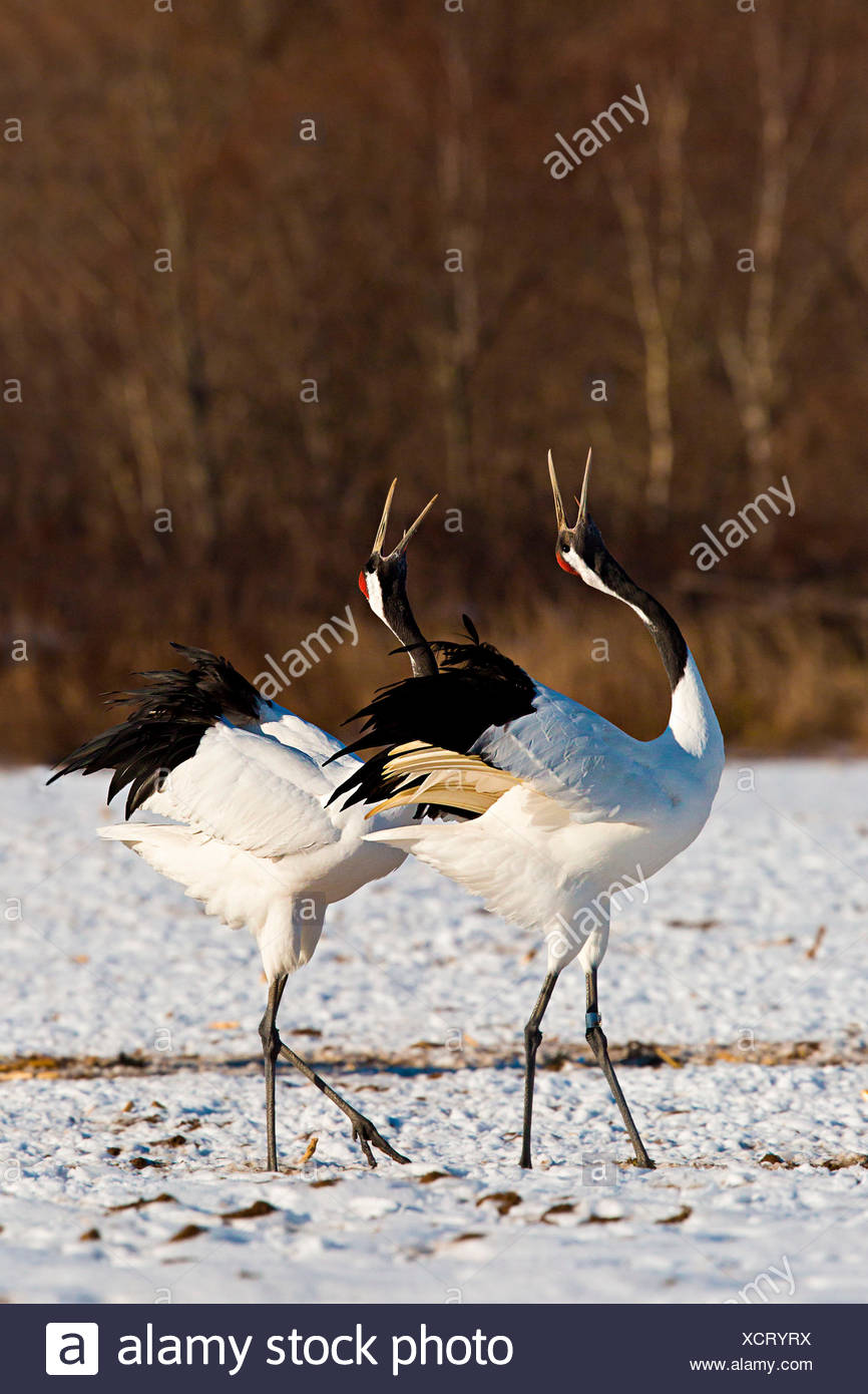 Two Japanese red crested cranes dancing in Hokkaido, Japan - Stock Image