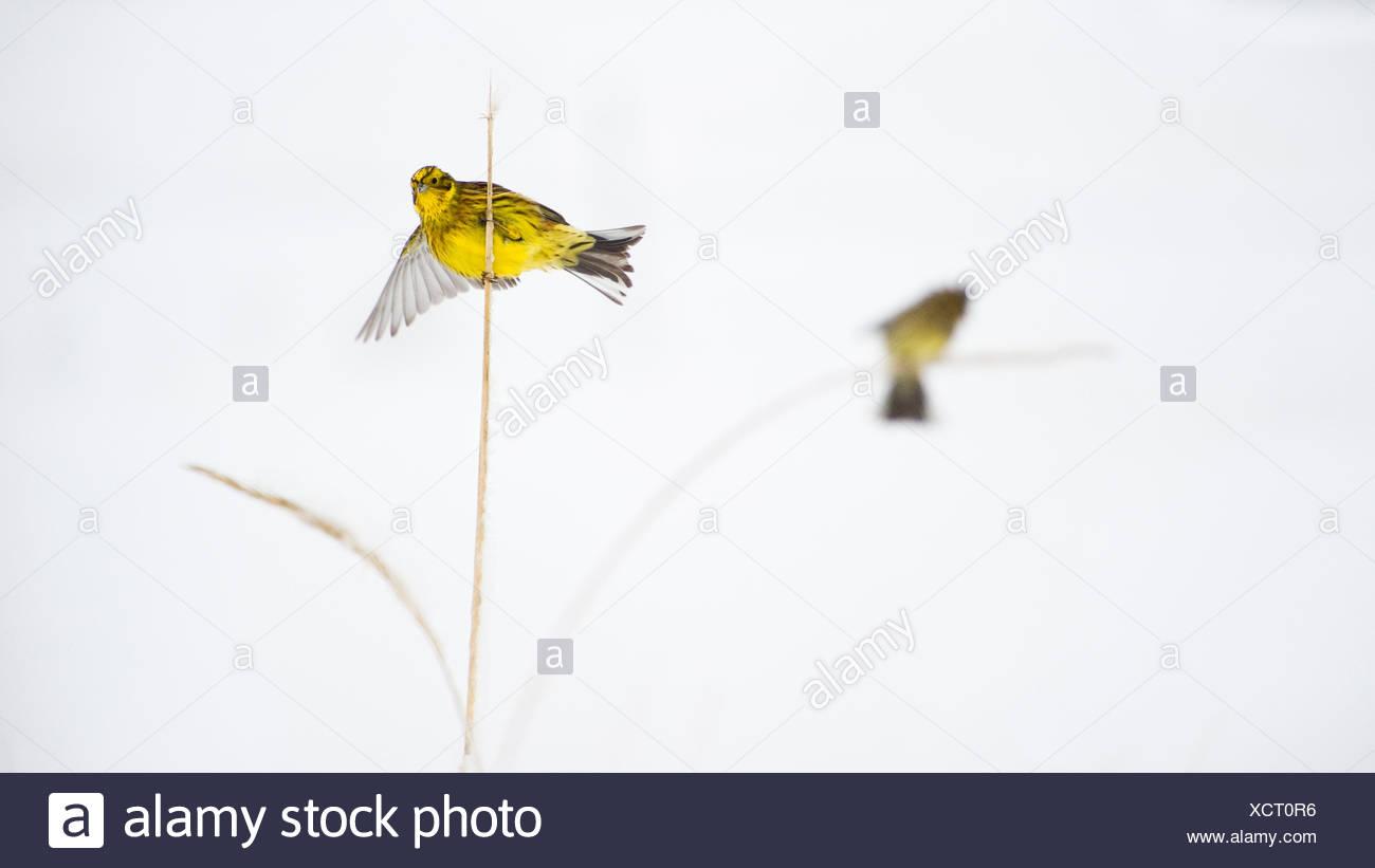 Yellowhammer (Emberiza citrinella) balancing on rye stem, Norway. - Stock Image