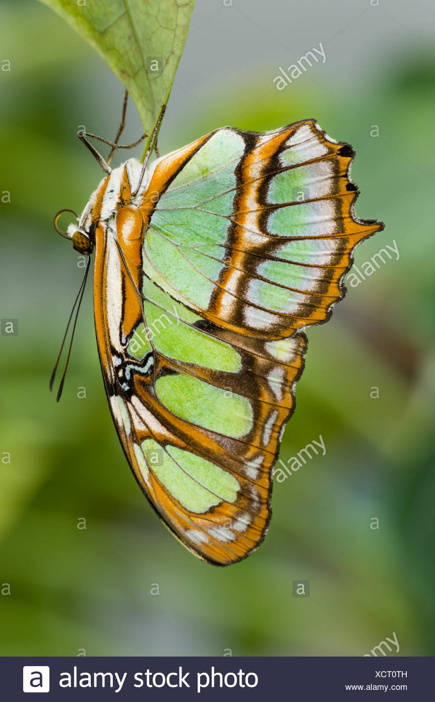Malachite Butterfly (Siproeta stelenes) hanging upside down on leaf, forest near Napo River, Amazonia, Ecuador, South America. - Stock Image