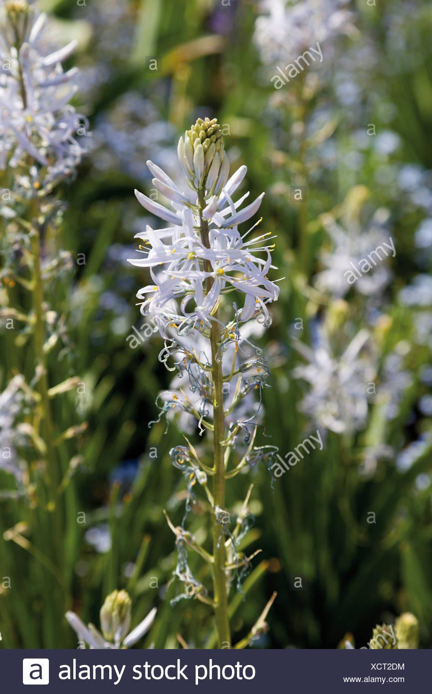 Prairie Lily (Camassia leichtlinii), Bundesgartenschau, Federal Garden Show, BUGA 2011, Koblenz, Rhineland-Palatinate - Stock Image