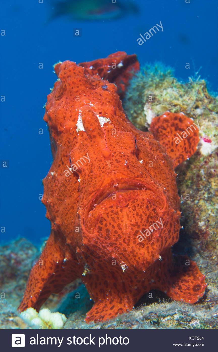 Giant Anglerfish Stock Photos & Giant Anglerfish Stock Images - Alamy