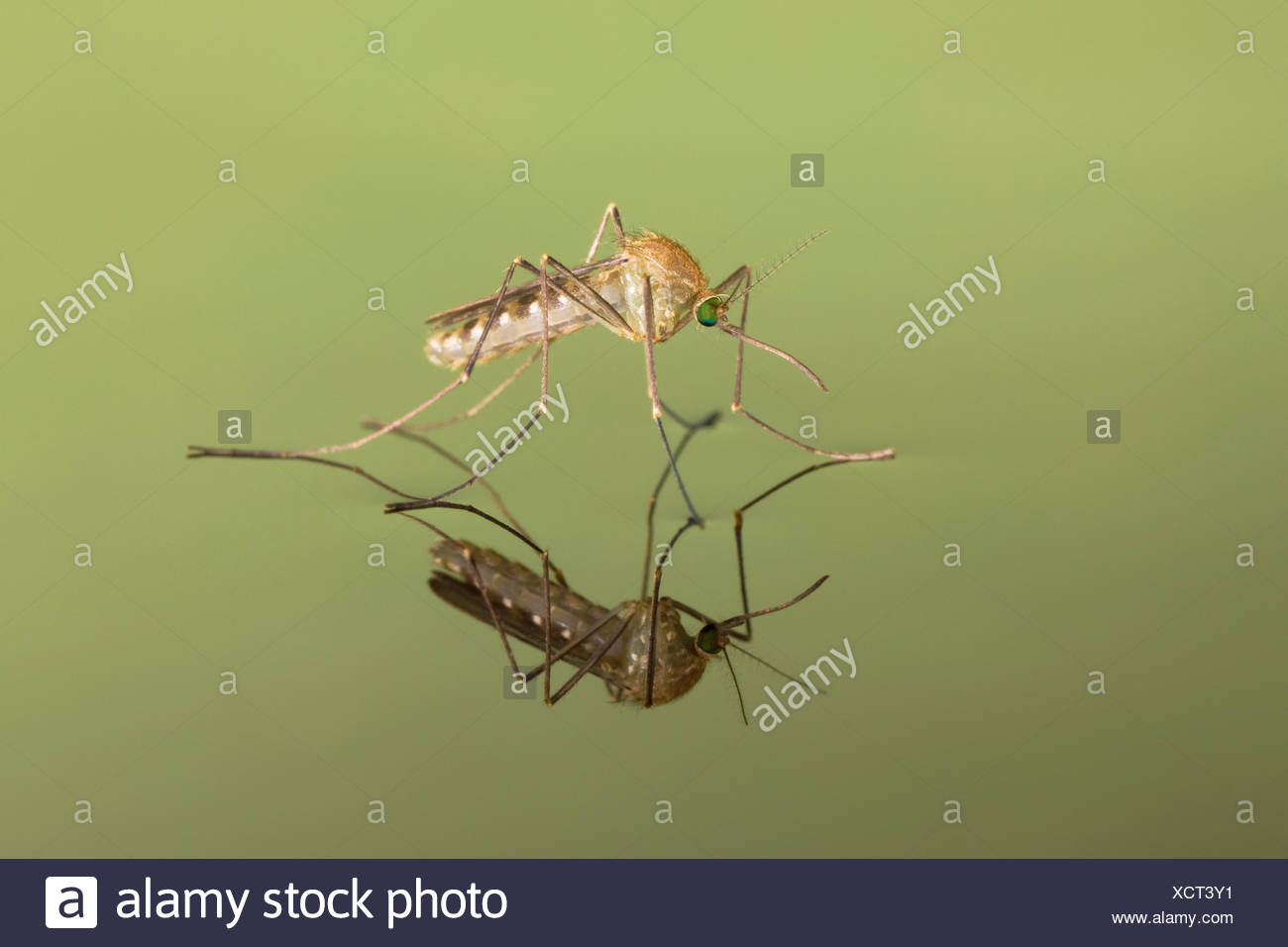 Mosquito (Culicidae) freshly hatched sitting on water surface with reflection, Germany. - Stock Image