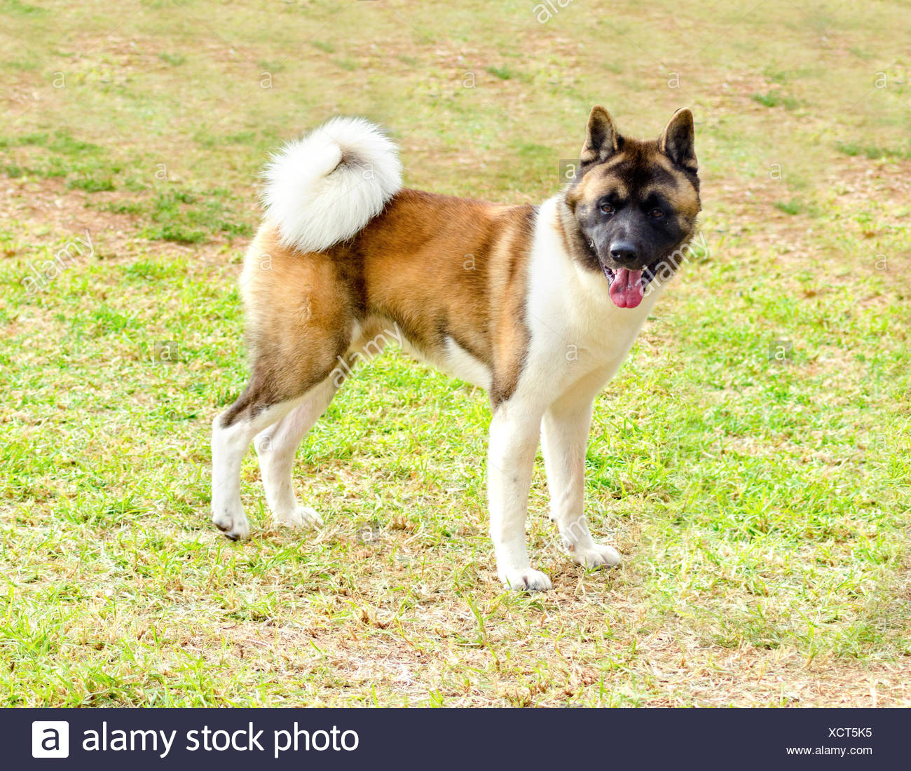 A Profile View Of A Sable White And Brown Pinto American Akita Dog Standing On The Grass Distinctive For Its Plush Tail That Curls Over His Back And For The Black Mask