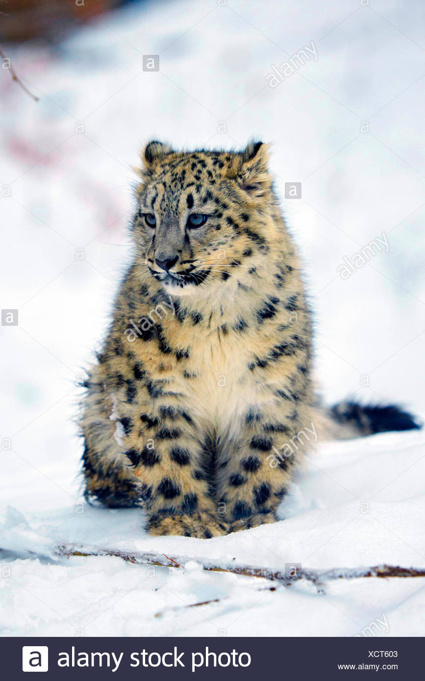 Schneeleopard, Schnee-Leopard, Irbis (Uncia uncia, Panthera uncia), Jungtier im Schnee | snow leopard (Uncia uncia, Panthera unc - Stock Image