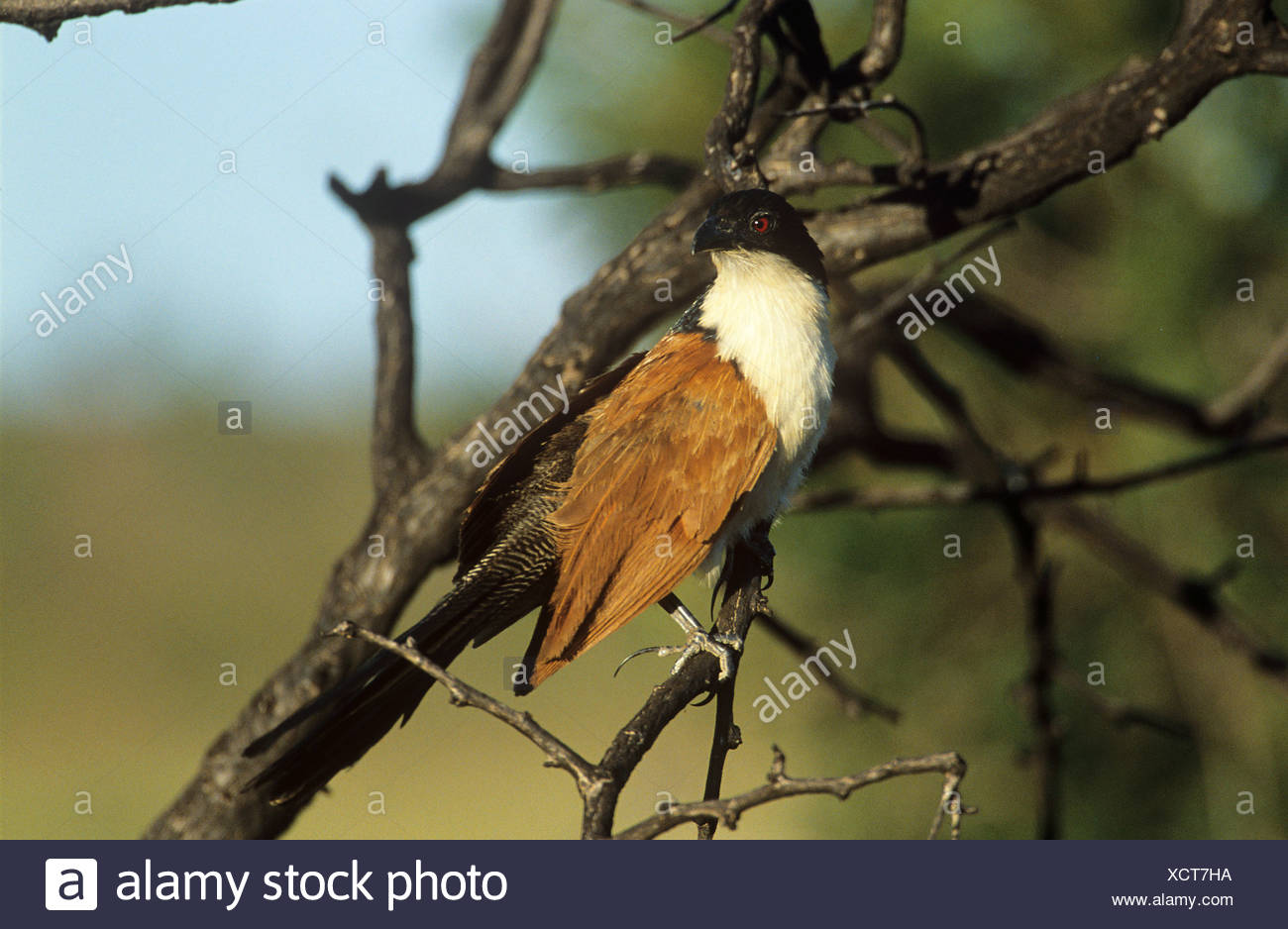 Burchell s Coucal Centropus burchellii - Stock Image