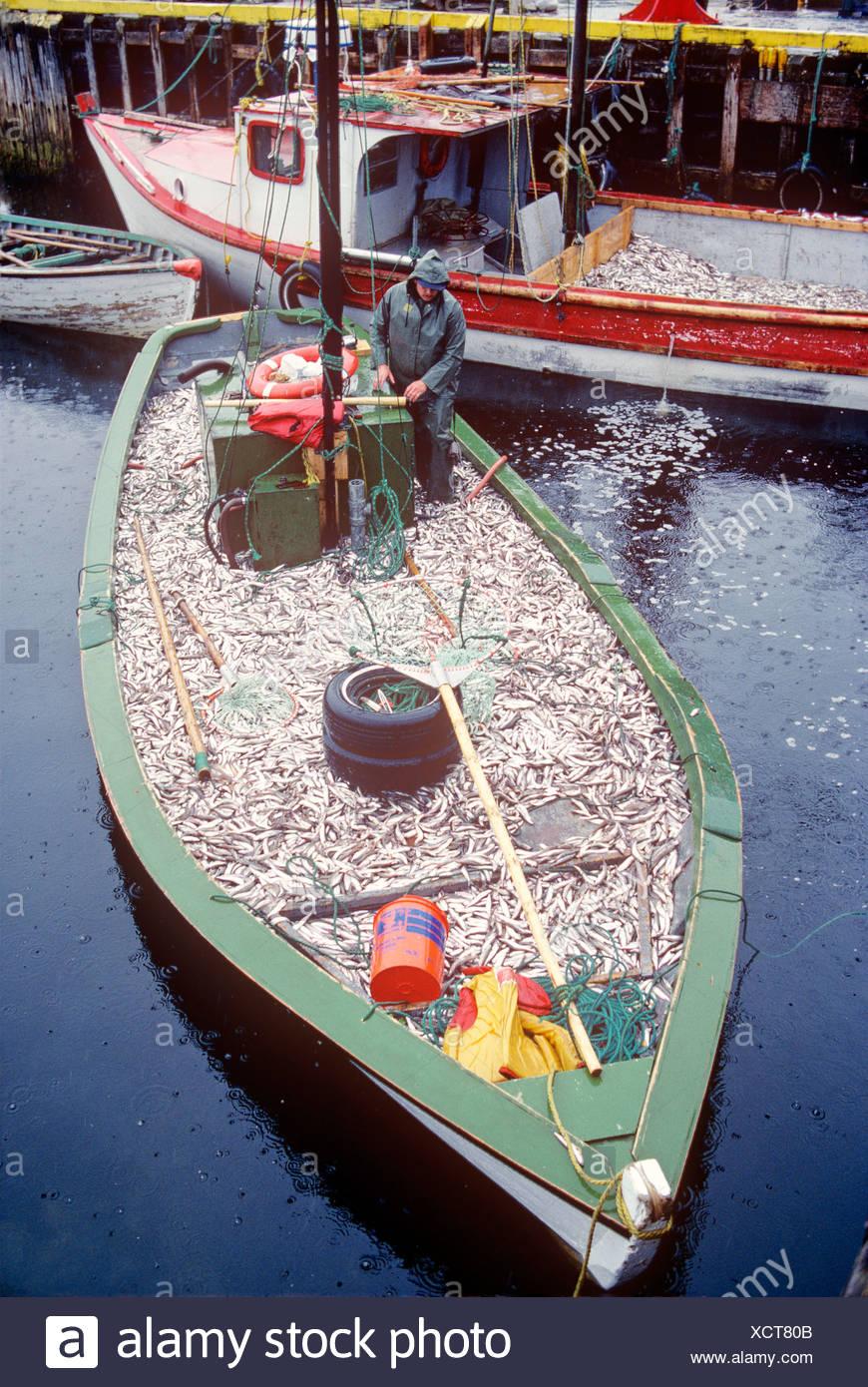 fishing boat full of capelin, Cape Broyle, Newfoundland, Canada - Stock Image