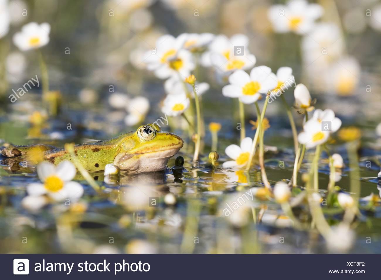 Edible frog (Pelophylax kl. esculentus) in pond amongst white water-crowfoot (Ranunculus aquatilis), Hesse, Germany - Stock Image