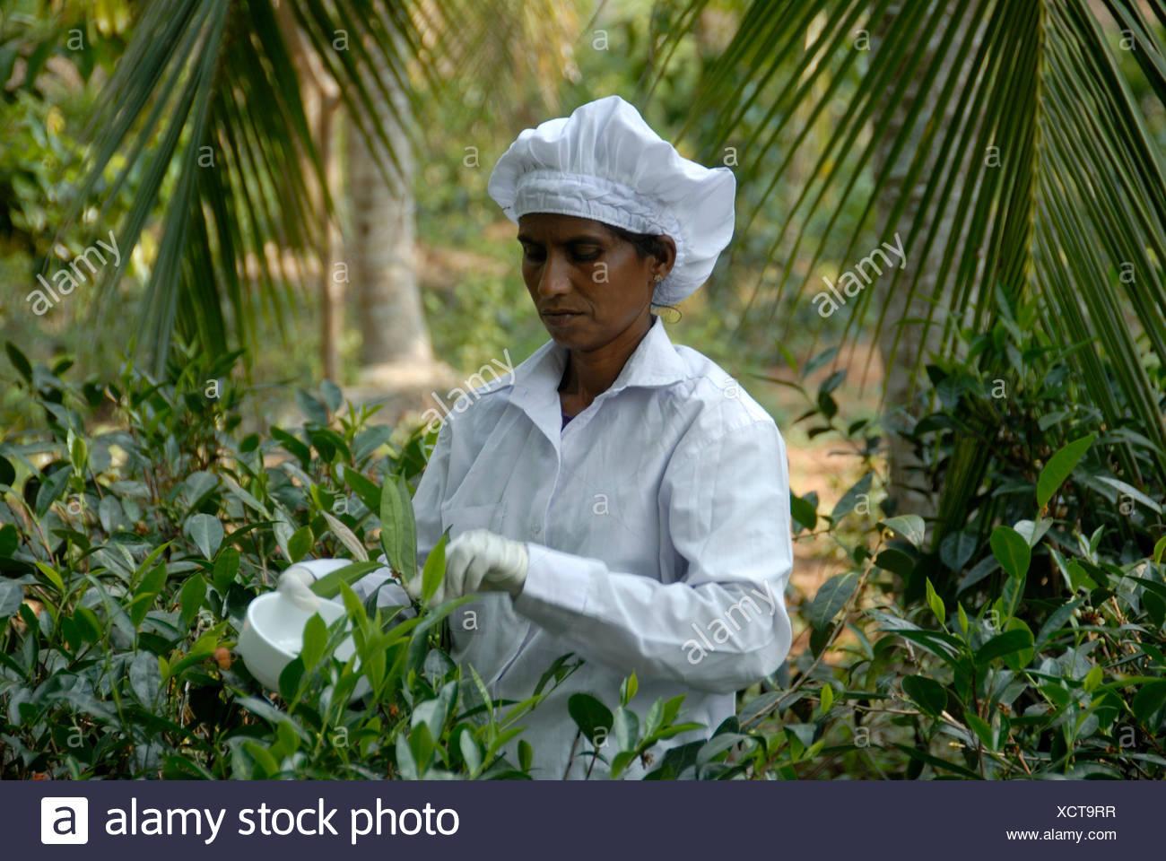 Tea harvest, Singhalese woman, tea plucker, picking tea leaves for white tea with gloves and scissors, Handunugoda Tea Estate,  - Stock Image