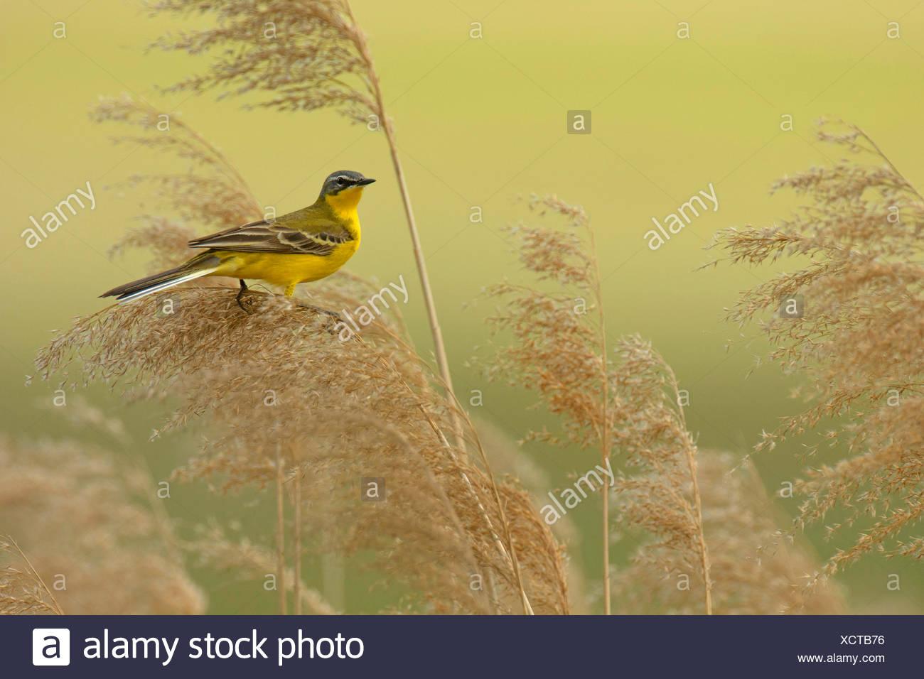 Yellow wagtail (Motacilla flava), sitting on reed, Hungary, Hortobagy, Nagyivan - Stock Image