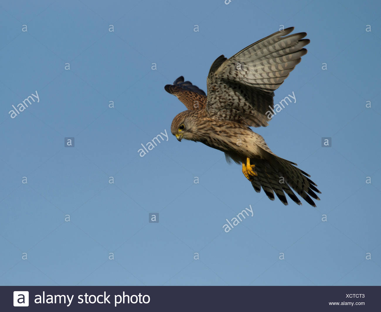 common kestrel hovering, falco tinnunculus, germany, europe - Stock Image