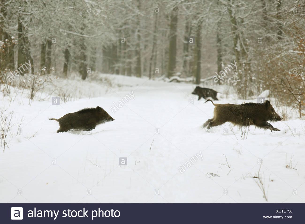 wild boar, pig, wild boar (Sus scrofa), escaping wild boars, Germany, Baden-Wuerttemberg - Stock Image