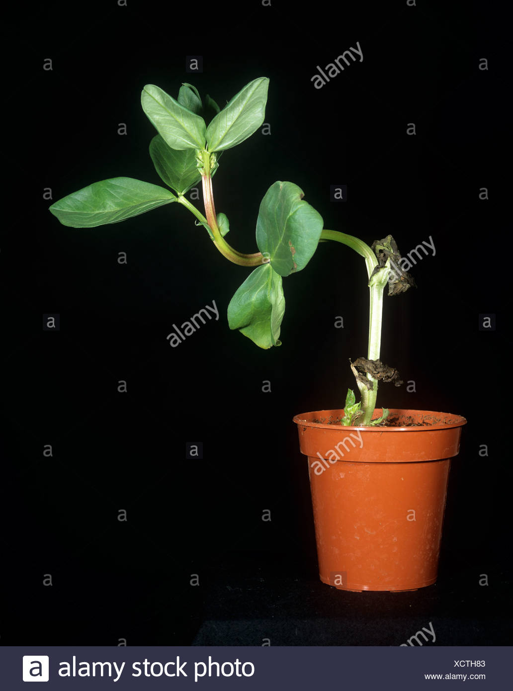 A broad bean responding to changes in attitude a light to demonstrate tropism - Stock Image
