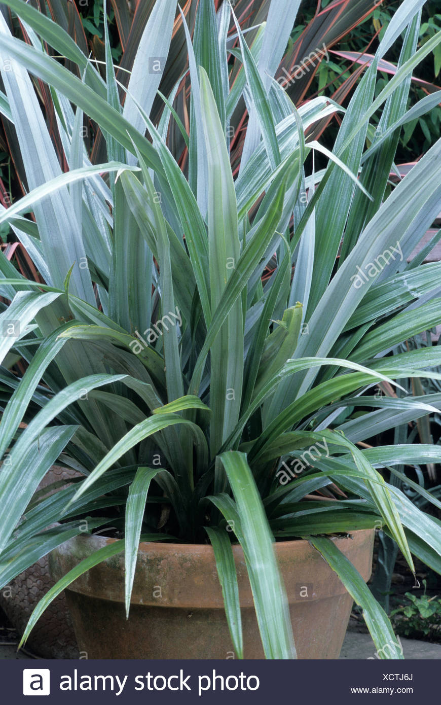 Astelia Chathamica ,container, Silver Foliage Plant Plants ...