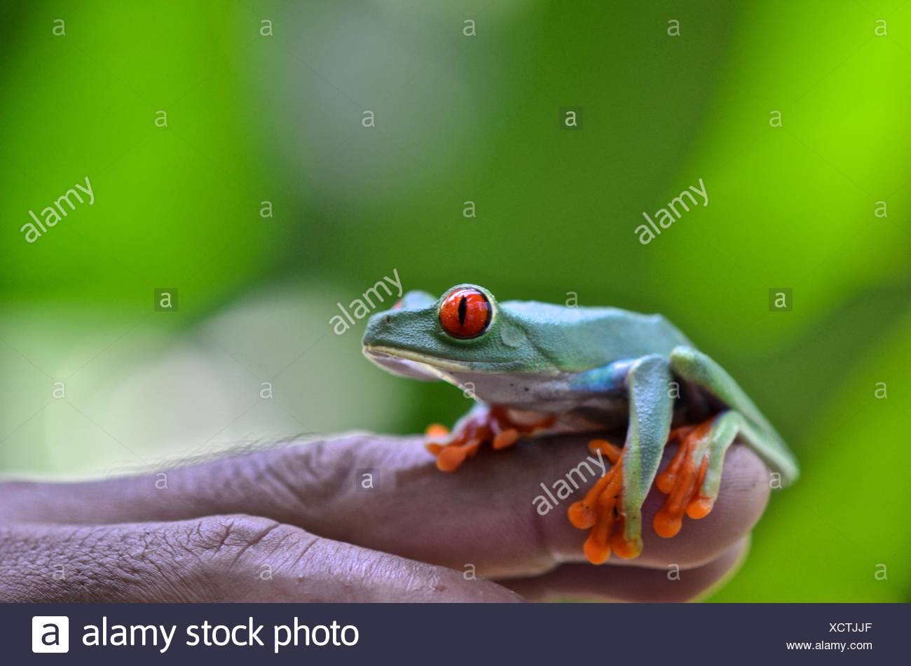 A red eyed tree frog, Agalychnis callidryas, rests on a person's hand at Tortuguero National Park. - Stock Image