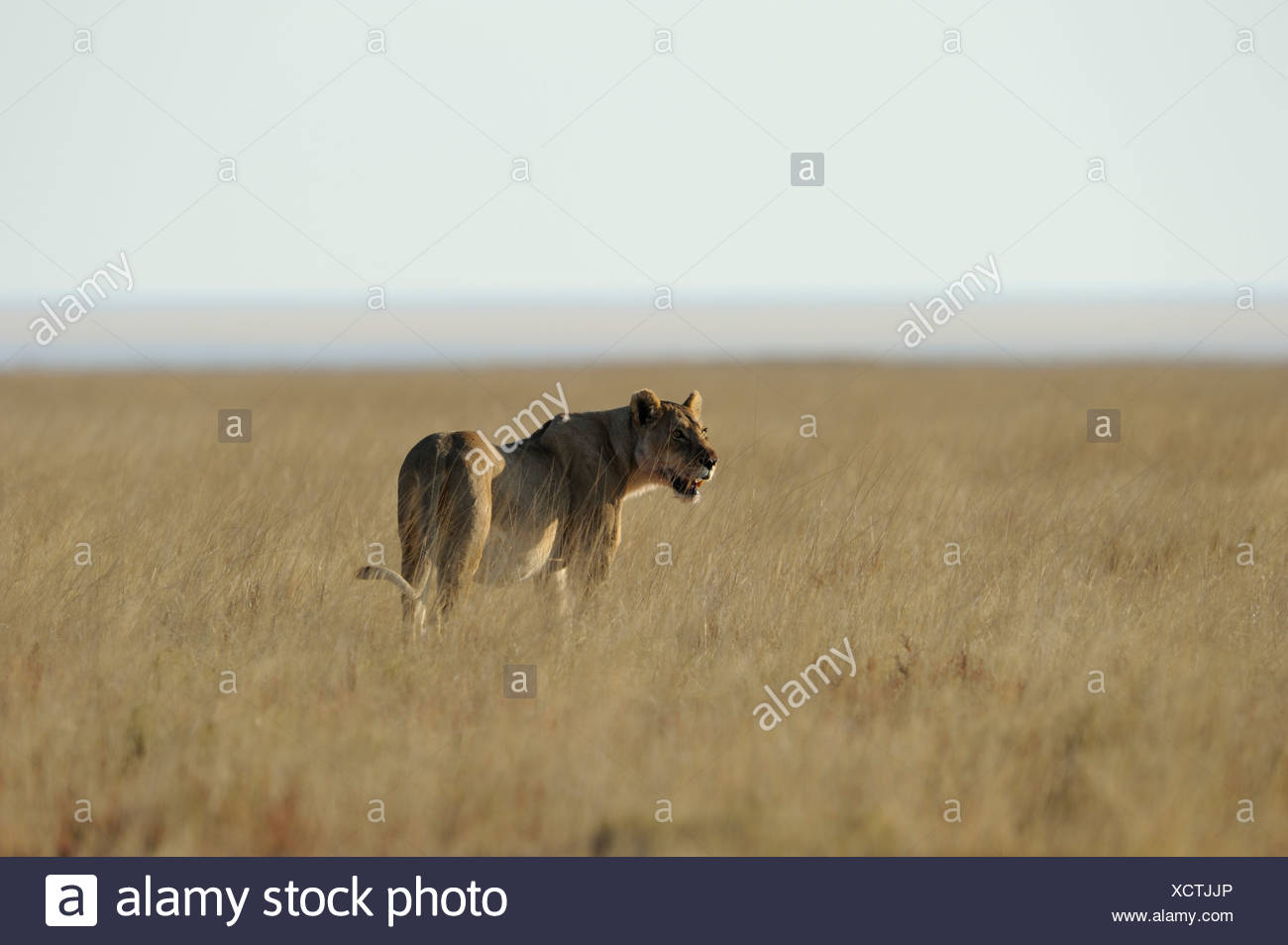 lion female (panthera leo), etosha, namibia Stock Photo