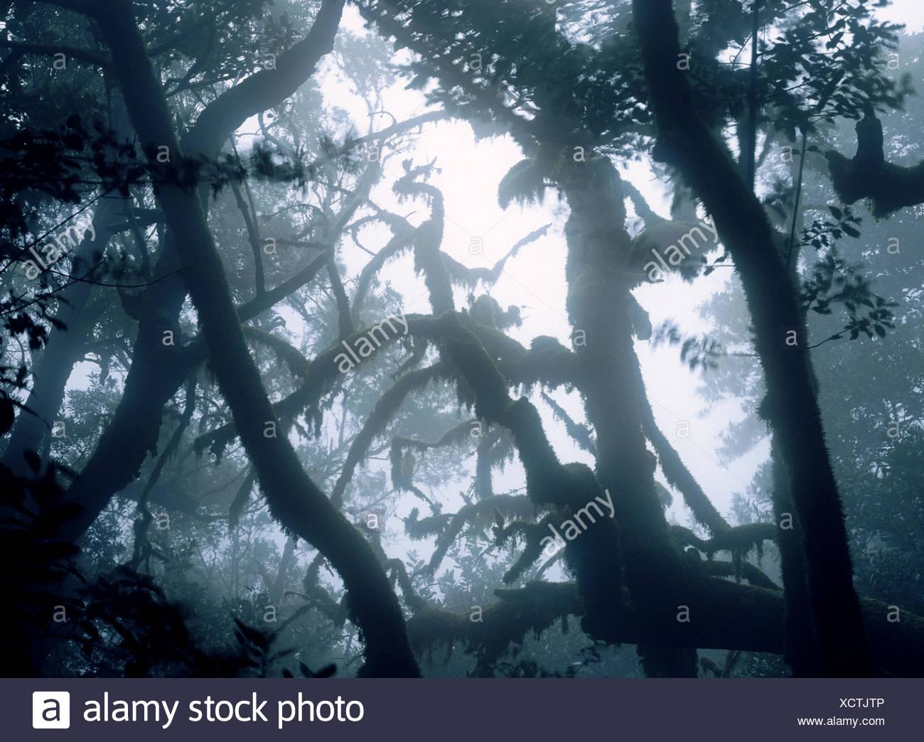 Laurisilva (primitive laurel forest). Garajonay National Park. La Gomera. Canary Islands. Spain - Stock Image