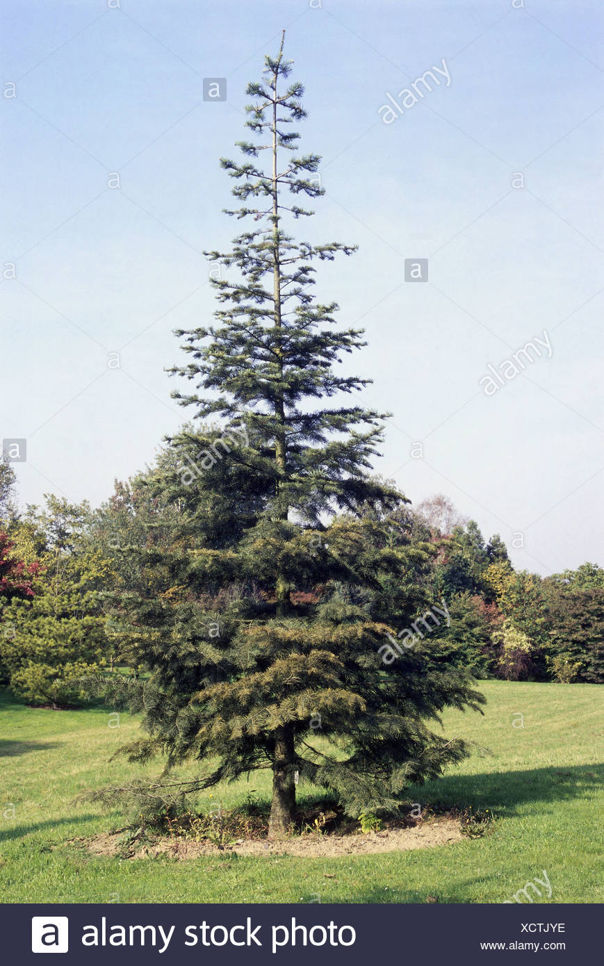 Botany Abies White Fir Abies Concolor Species Lowiana