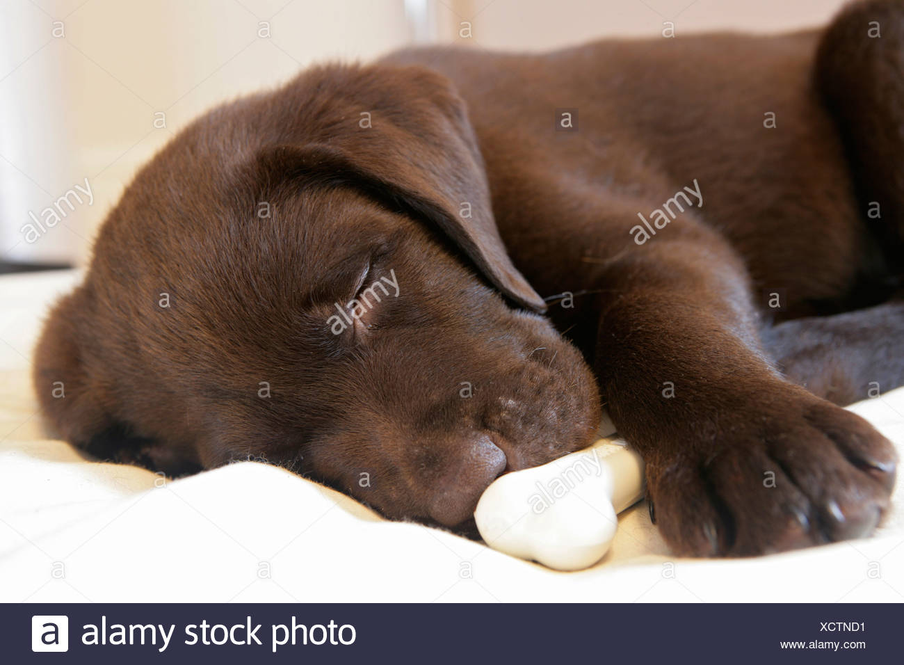 Labrador Retriever dog puppy sleeping bone - Stock Image