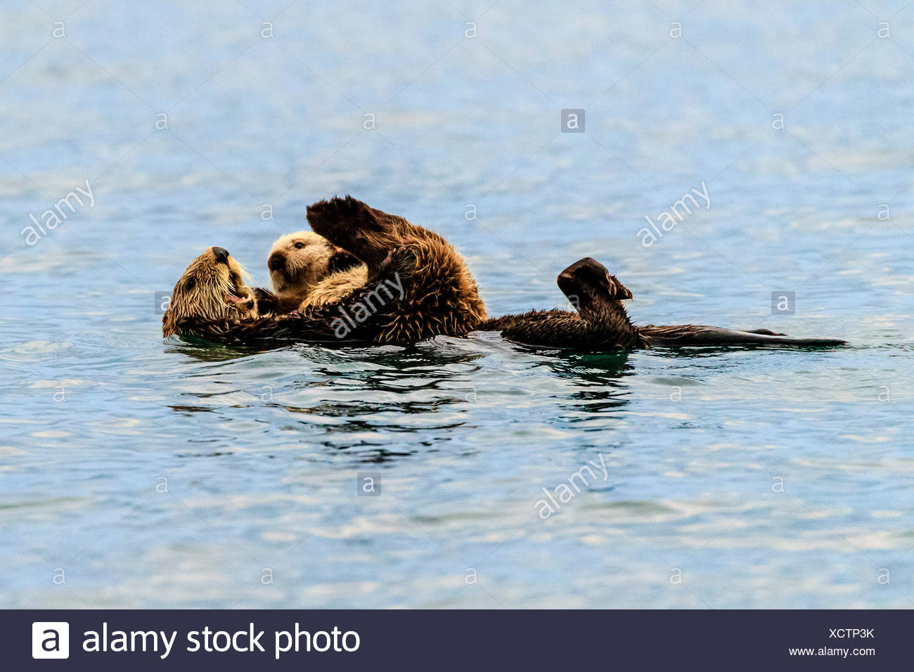 Sea otter, Enhydra lutris, mother and pup in Kachemak Bay. - Stock Image