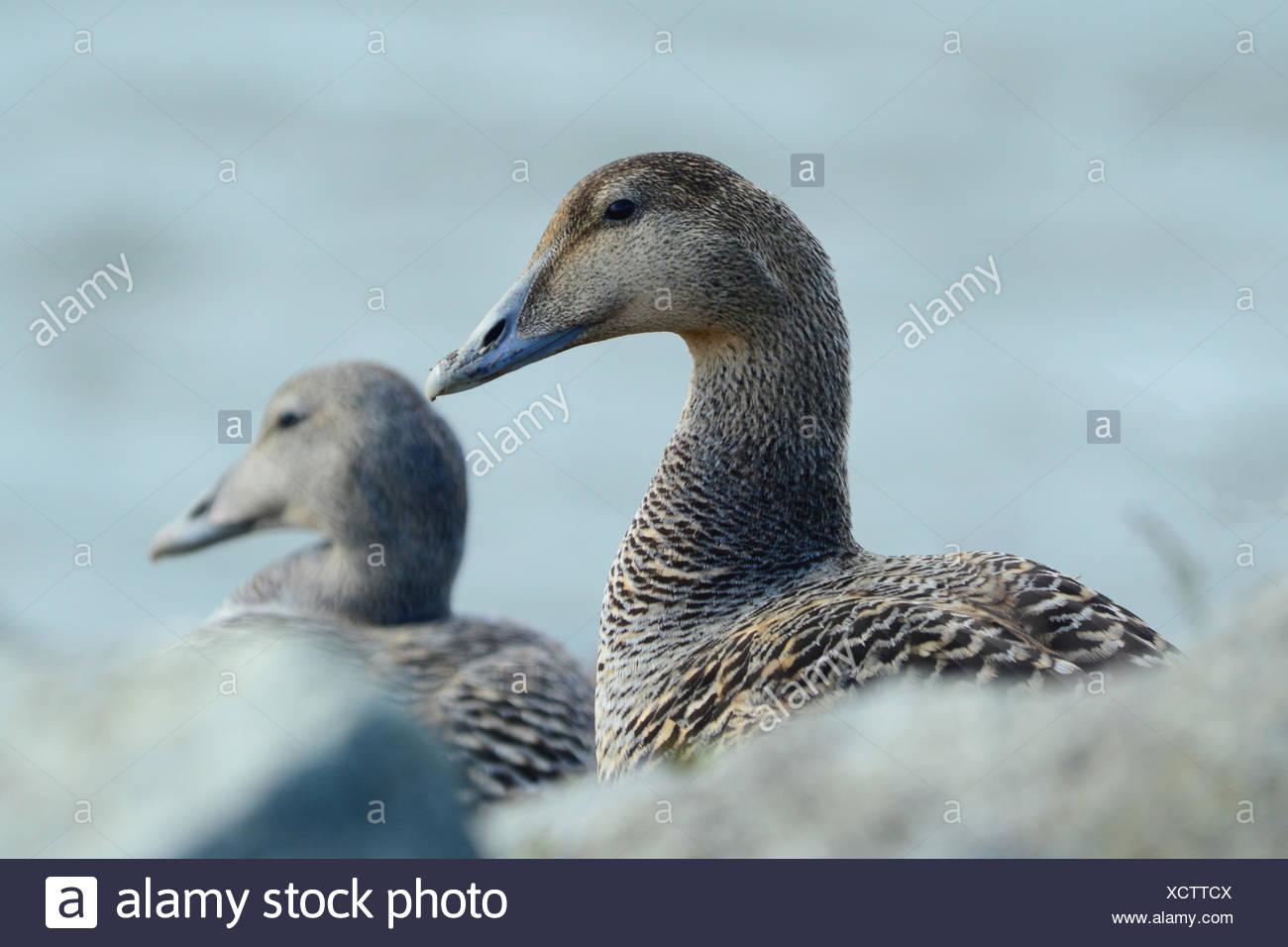 A female eider duck, Somateria mollissima. - Stock Image
