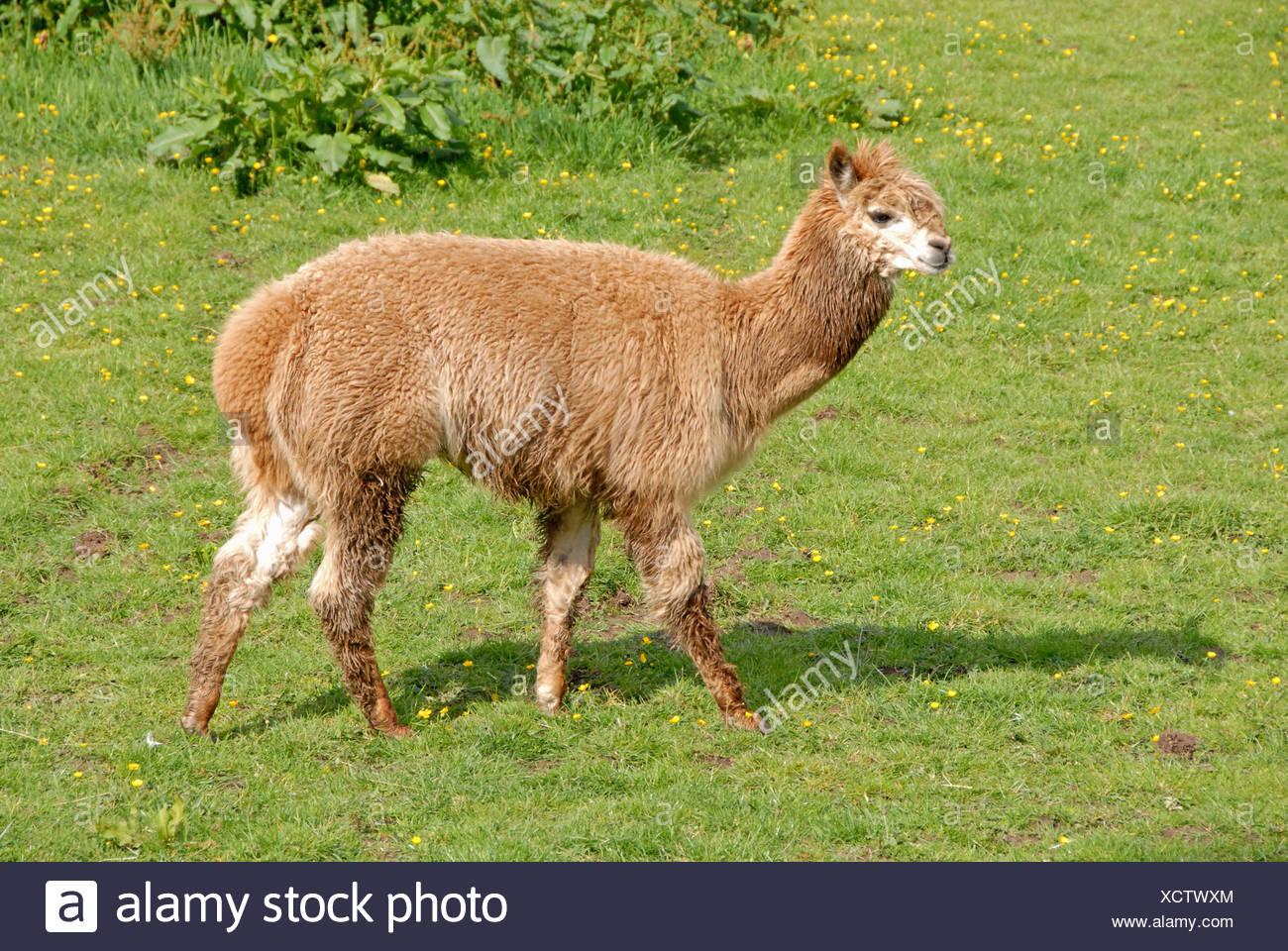 Alpaca domestic grass pet wool herbivore buttercups lama pacos alpaca alpacas camelidae domestic domesticated hoofed herbivore - Stock Image