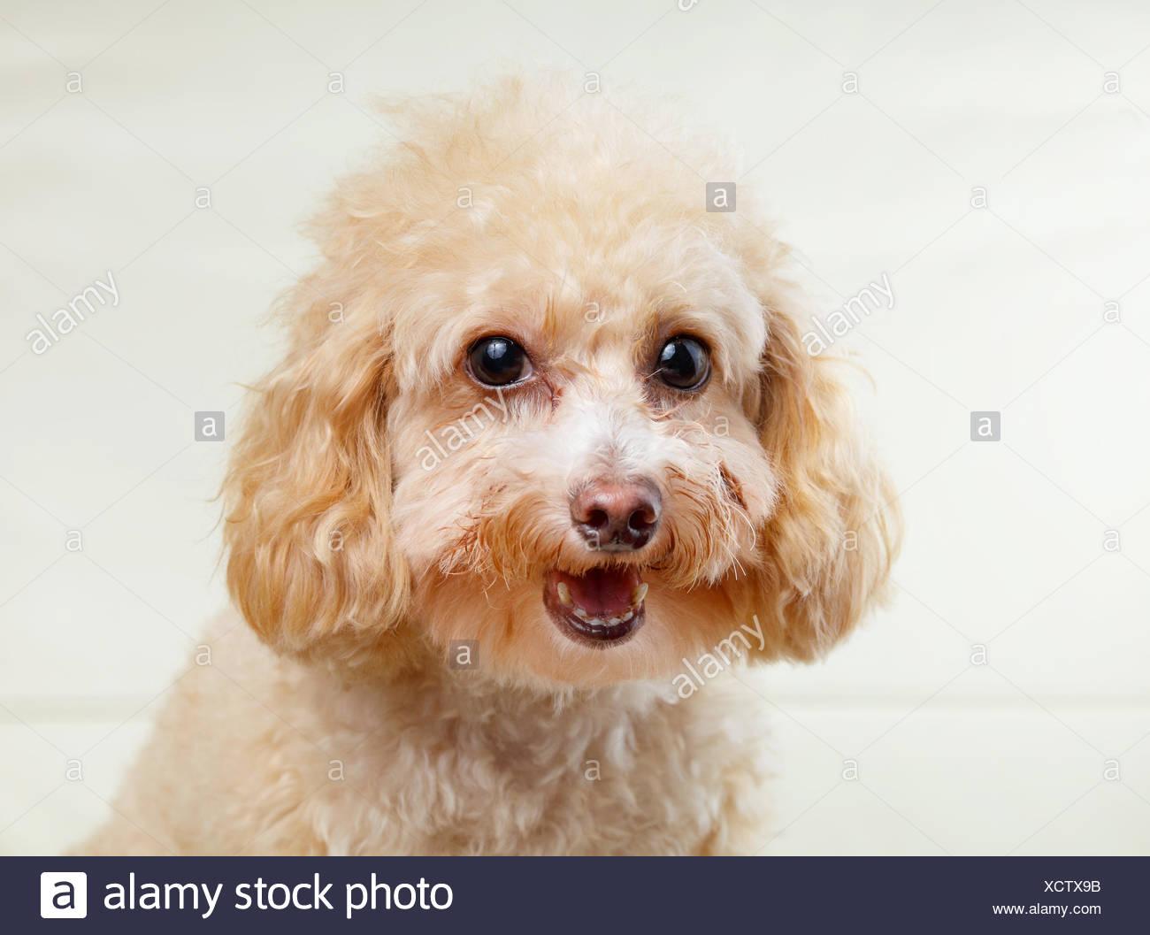 Toy poodle eye discharge-5544